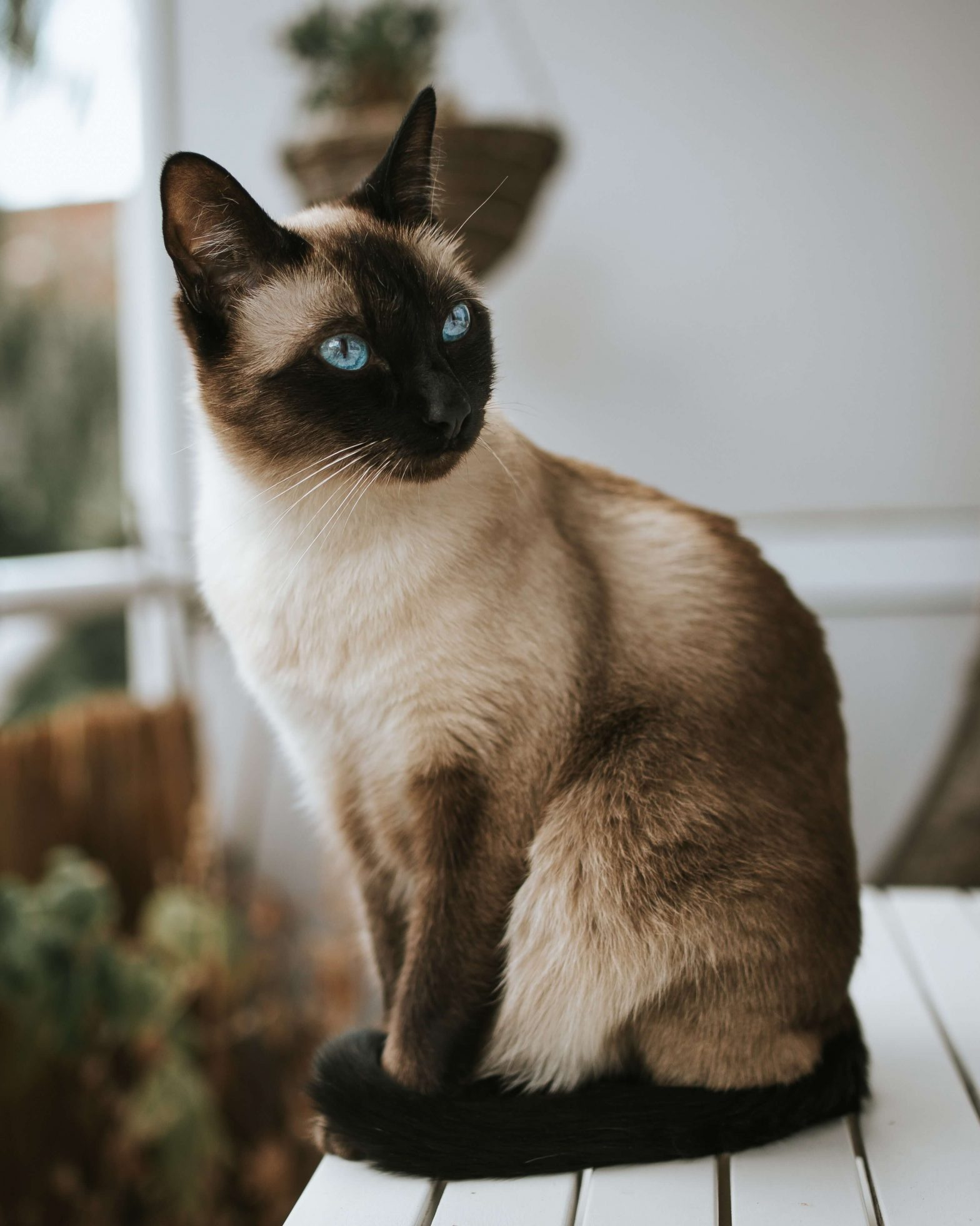 Photo of Andrew - a Siamese brown cat